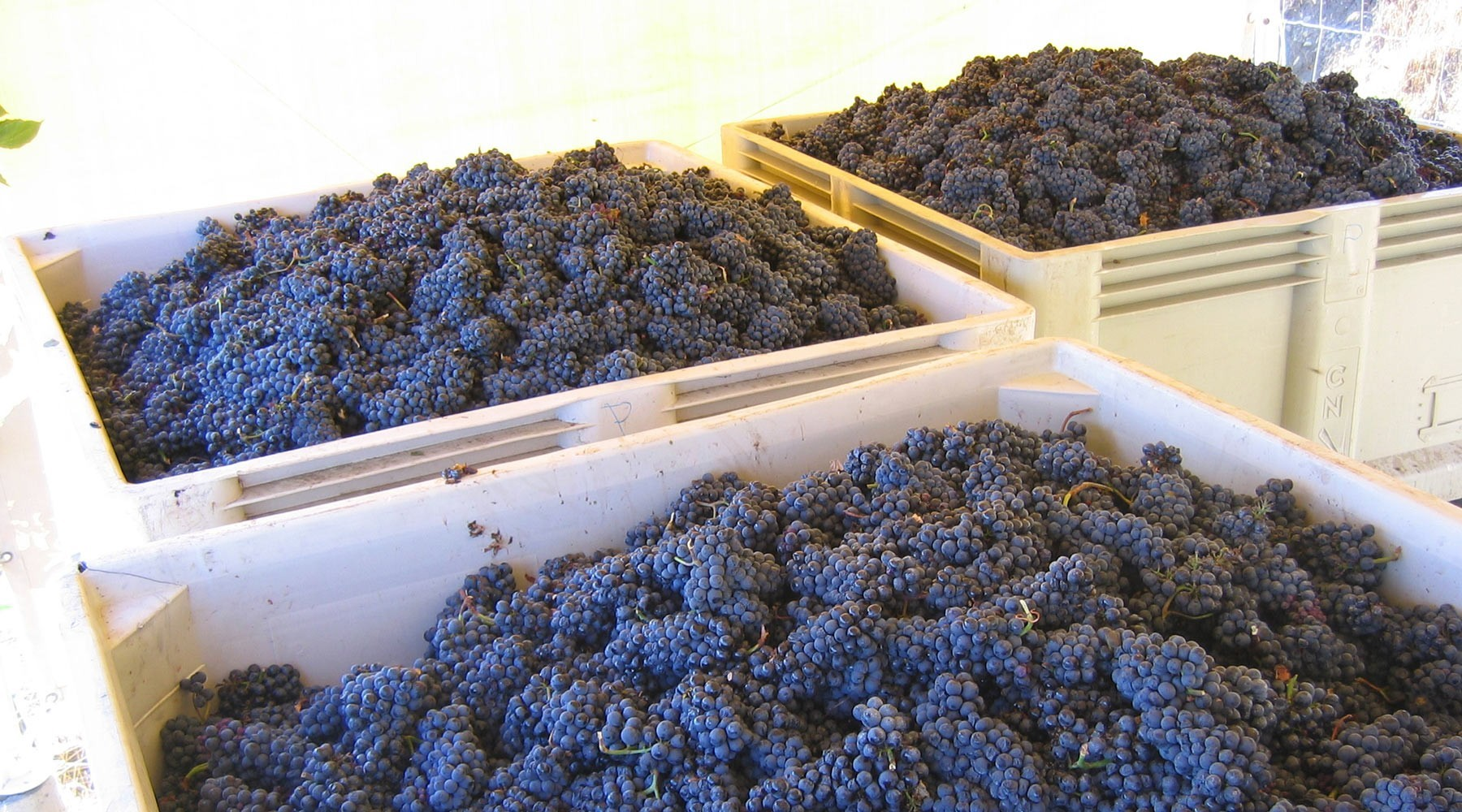 Pinot Noir grapes in bins