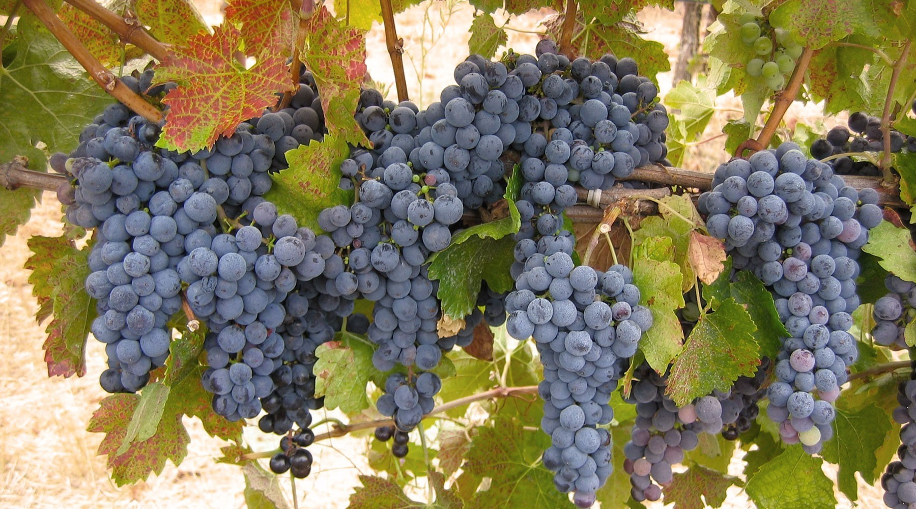 Pinot Noir Grapes on Vine
